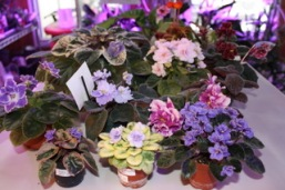 burley violets